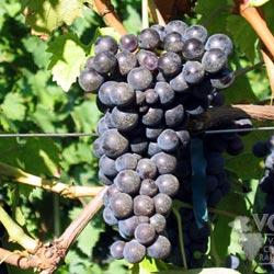 Aleatico druif-Aleatico grapes