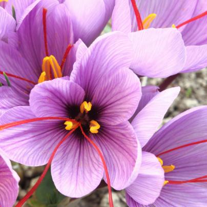 Saffraanbloem-Saffron flower