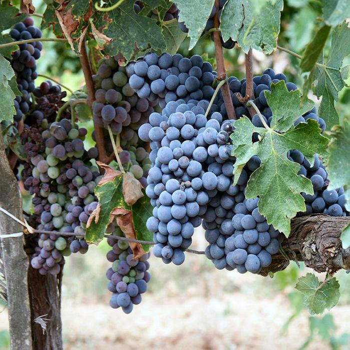 Sangiovese druif- Sangiovese grape