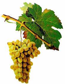 Clairette Blanc druif- Clairette Blanc grapes