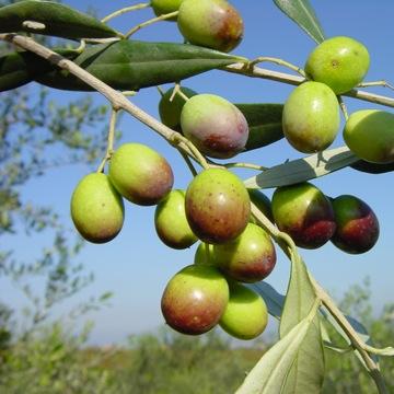 olijf Frantoiano-olive Frantoiano