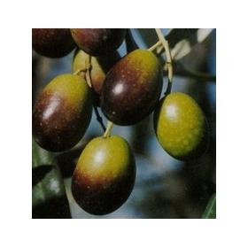 olijf Moraioli-olive Moraioli