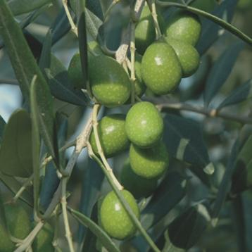 olijf Olivastra-olive Olivastra