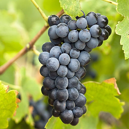 Syrah druif-Syrah grapes