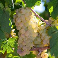 Vermentino druif-Vermentino grapes