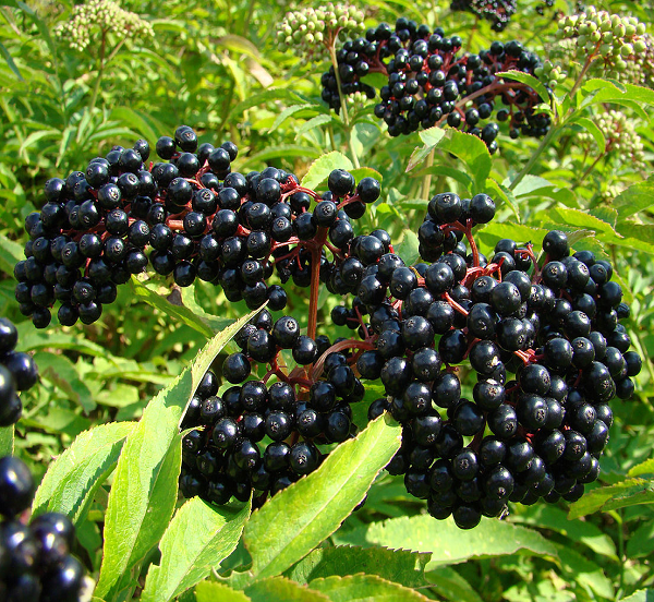 elderberry-fruit