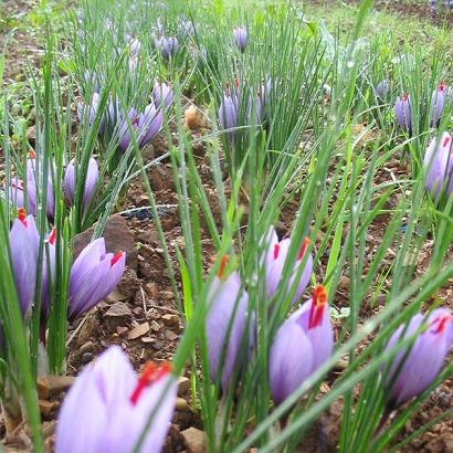 saffraan teelt veld