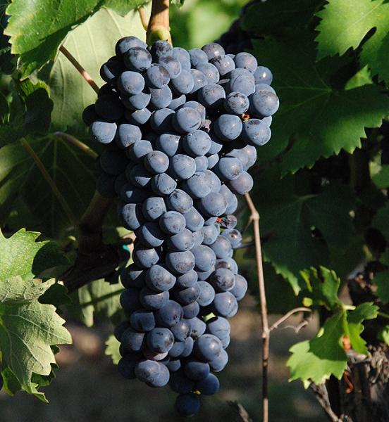 ciliegiolo druif