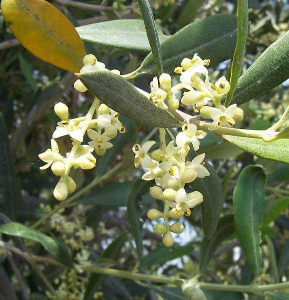 bloei van de olijfboom-flowering of the olive tree
